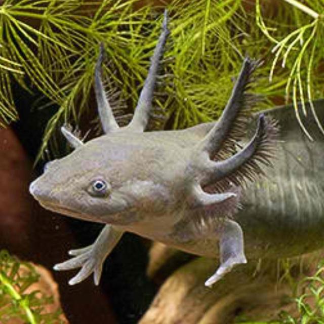 Salamanders are amazing 9c4aab10