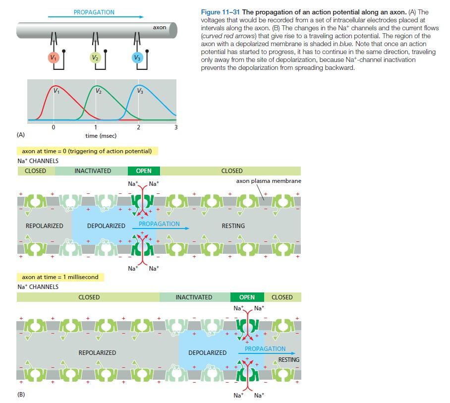 The Human Nervous System: Evidence of Intelligent Design  Action10