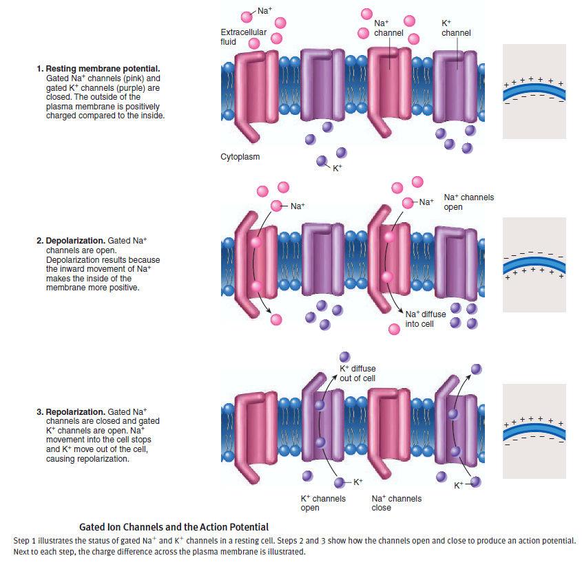 The Human Nervous System: Evidence of Intelligent Design  Action11