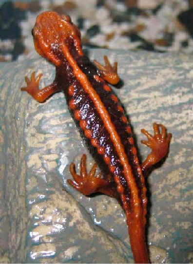Salamanders are amazing Amphib10