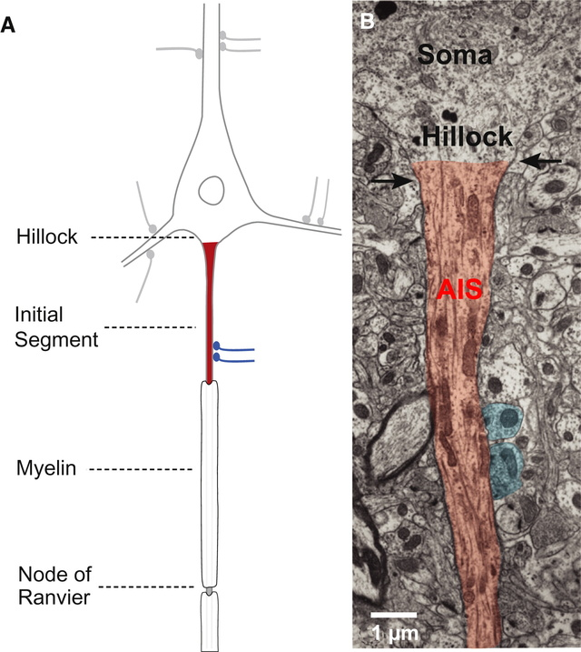 AXON ENSHEATHMENT AND MYELIN GROWTH - AMAZING EVIDENCE OF DESIGN Anatom11