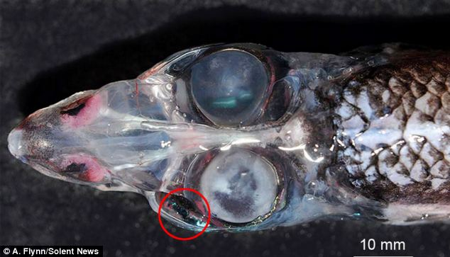 The glasshead barreleye fish with FOUR eyes, with 360° vision to spot prey and predators Articl10