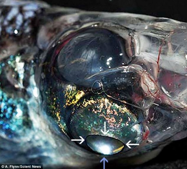 The glasshead barreleye fish with FOUR eyes, with 360° vision to spot prey and predators Articl11