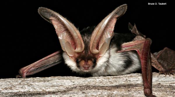 Spectacular bats Bat10