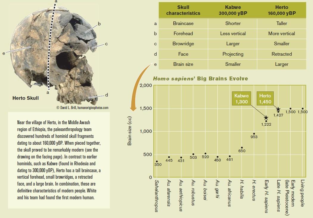 Evolution of the brain Brain_15