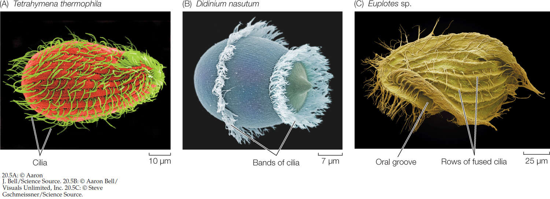 The fantastic design of  unicellular euplote protists C20_fi10