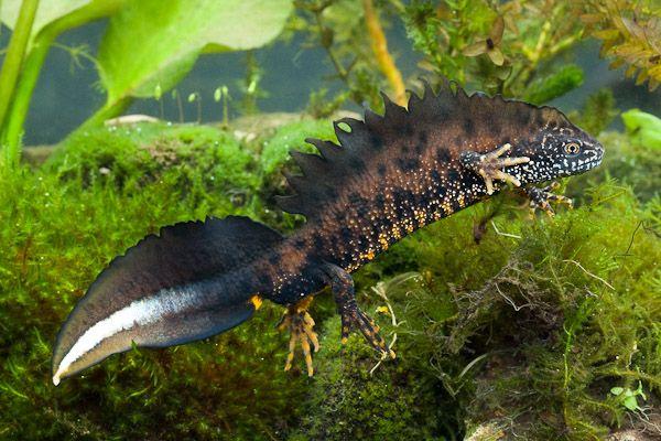 Salamanders are amazing C3127f10