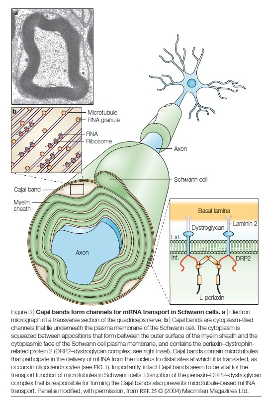 AXON ENSHEATHMENT AND MYELIN GROWTH - AMAZING EVIDENCE OF DESIGN Cajal_10