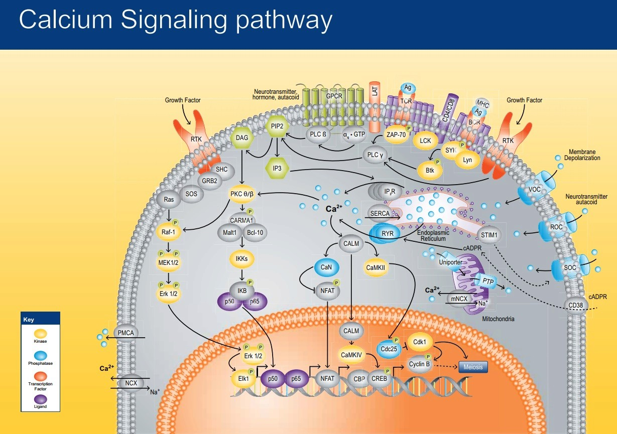 How intracellular Calcium signaling,  gradient and its role as a universal intracellular regulator points to design Calciu10