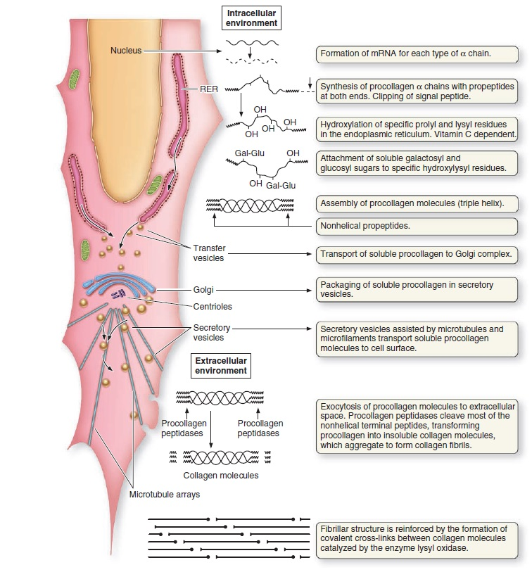 Collagen, the most abundant protein in the human body, and its synthesis Collag10