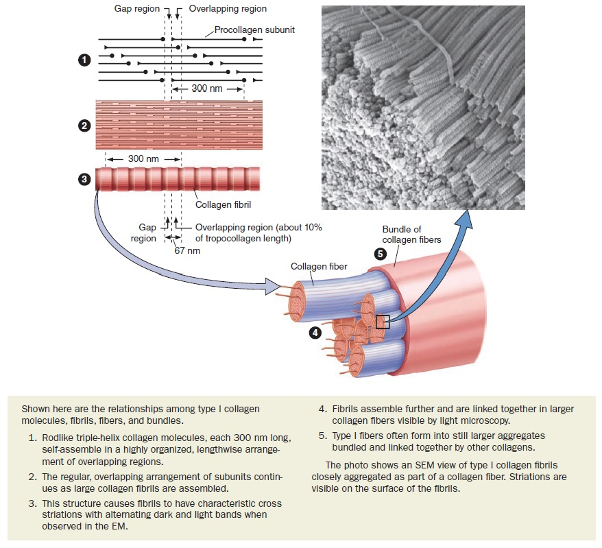 Collagen, the most abundant protein in the human body, and its synthesis Collag11