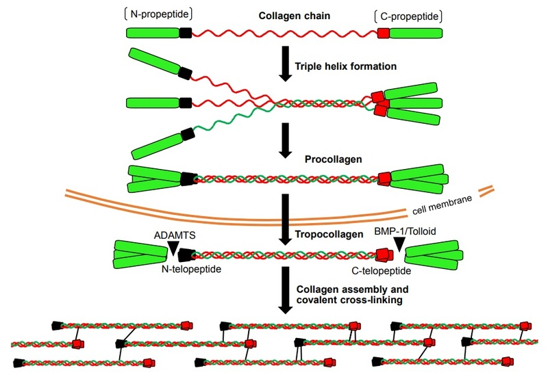 Collagen, the most abundant protein in the human body, and its synthesis Collag13