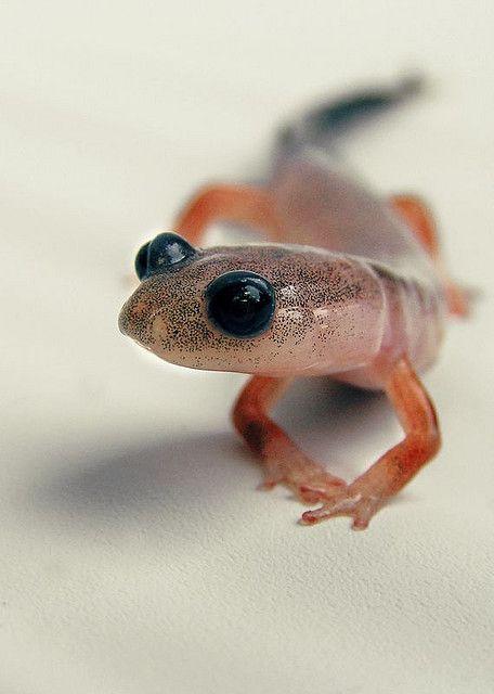 Salamanders are amazing D1c1db10