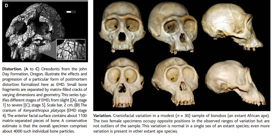 The origin of Homo Sapiens & timeline of human evolution Early_10
