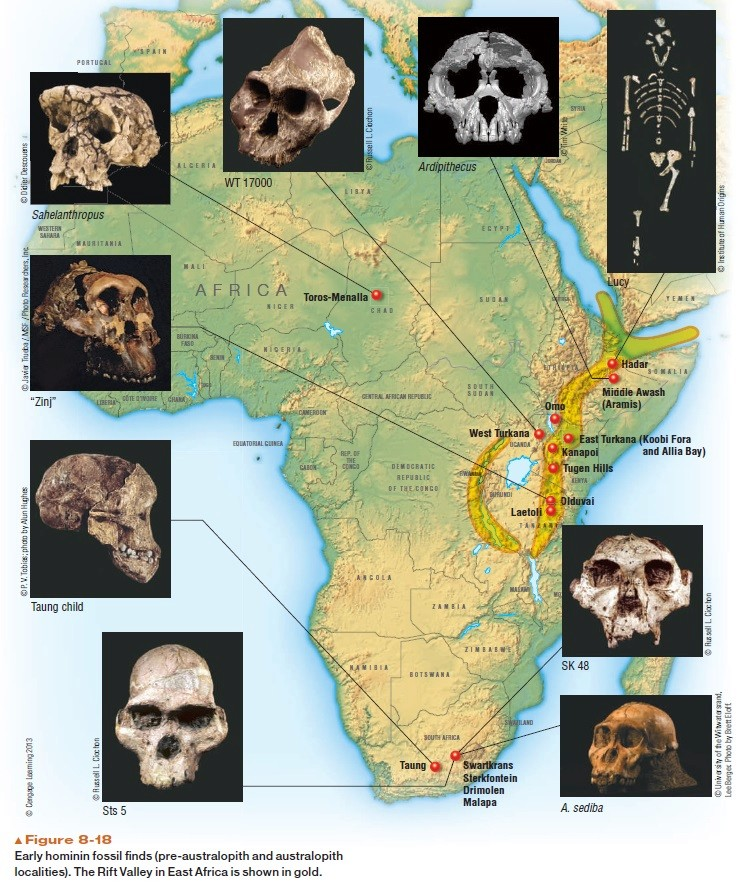 The origin of Homo Sapiens & timeline of human evolution Early_16