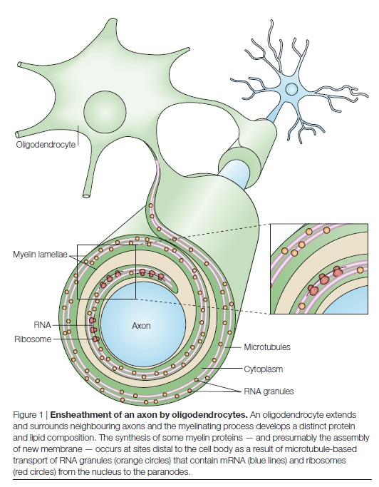AXON ENSHEATHMENT AND MYELIN GROWTH - AMAZING EVIDENCE OF DESIGN Enshea10