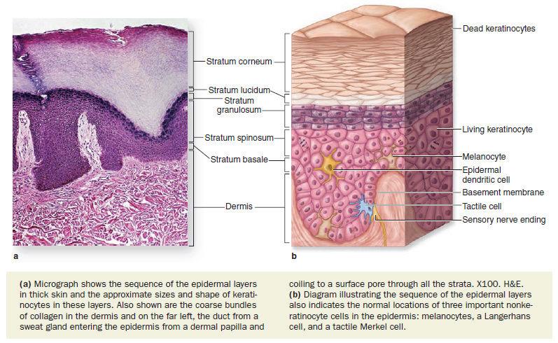 The skin - marvel of intelligent design Epider11