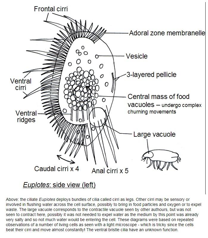 The fantastic design of  unicellular euplote protists Euplot14