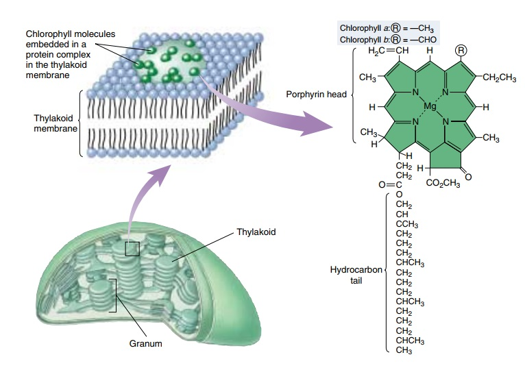 Chlorophyll, and what it tells us about intelligent design Granum11
