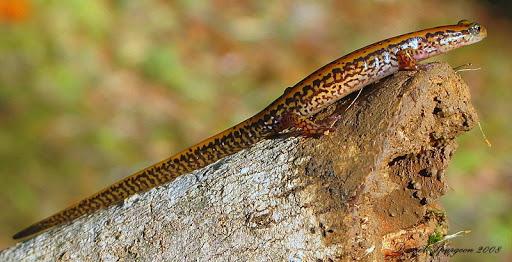 Salamanders are amazing Img_6810