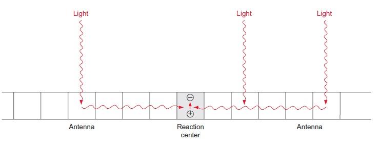 Light harvesting complex of photosynthesis Light_13