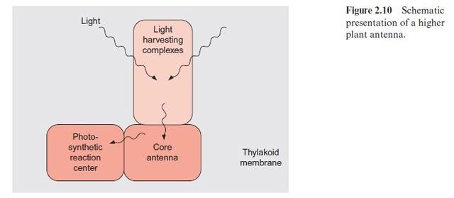 Light harvesting complex of photosynthesis Light_14