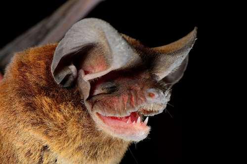 Spectacular bats Medium10