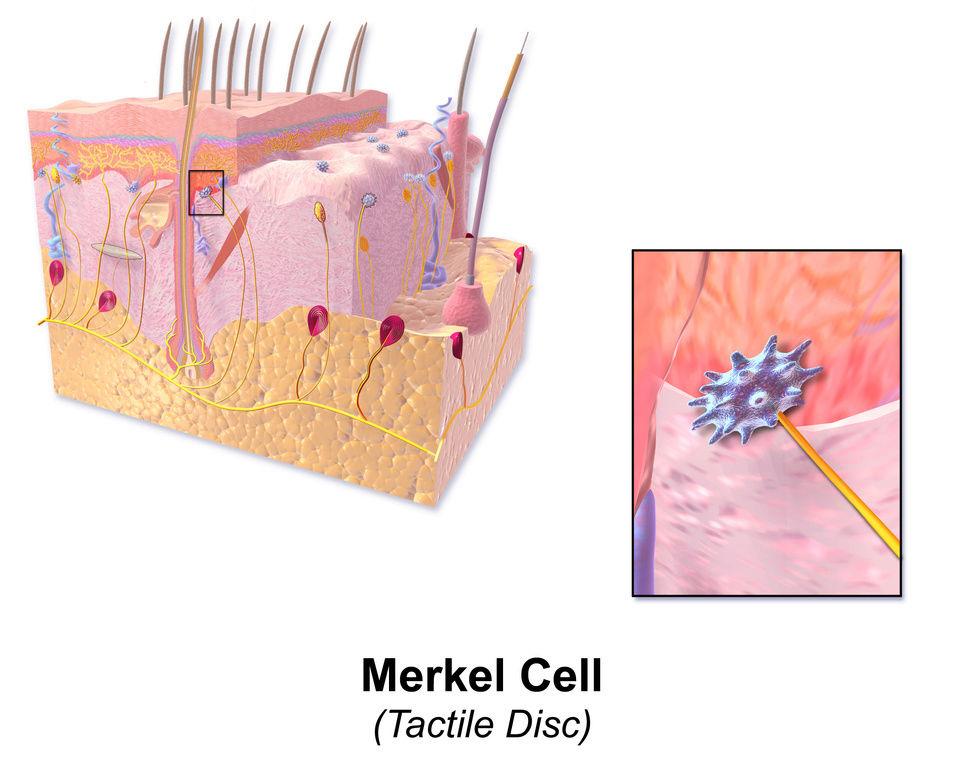 The skin - marvel of intelligent design Merkel10