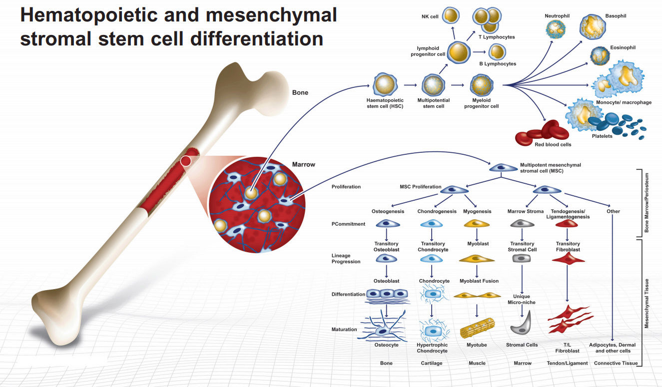 Hematopoietic and mesenchymal stromal stem cell differentiation Mesenc10