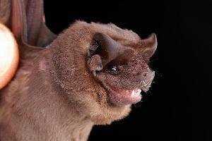 Spectacular bats Moloss10