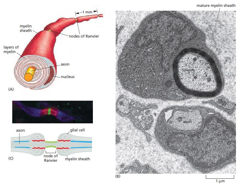 The Human Nervous System: Evidence of Intelligent Design  Myelin10