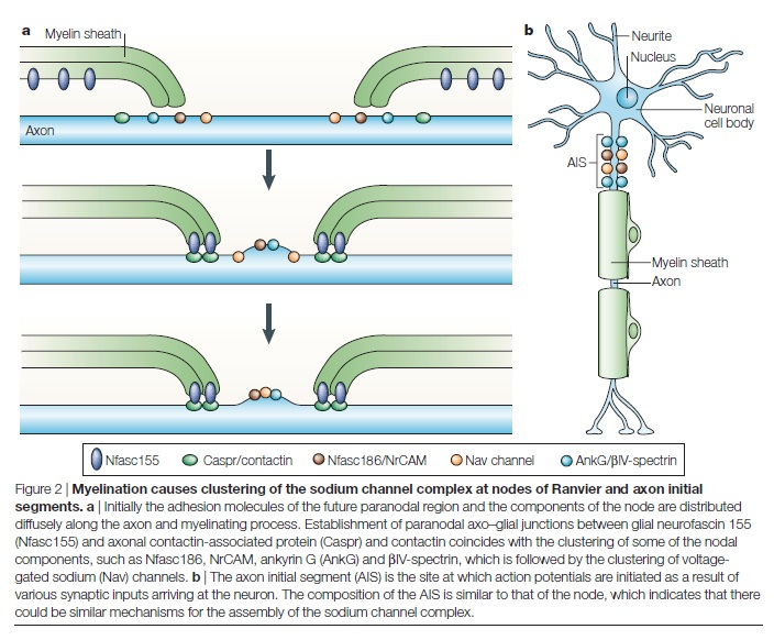 AXON ENSHEATHMENT AND MYELIN GROWTH - AMAZING EVIDENCE OF DESIGN Myelin11