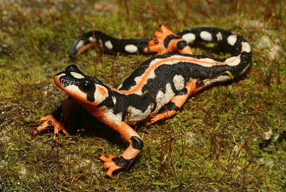 Salamanders are amazing Neurer10