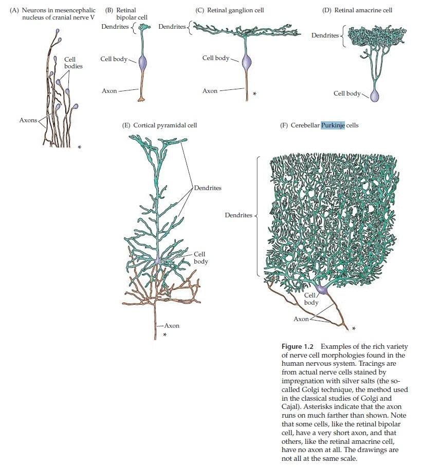 The Human Nervous System: Evidence of Intelligent Design  Neuron10