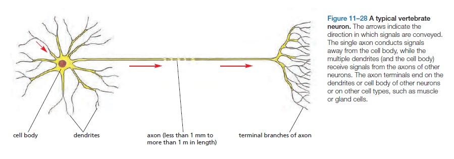 The Human Nervous System: Evidence of Intelligent Design  Neuron11
