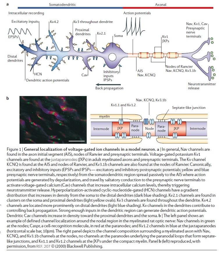 The Human Nervous System: Evidence of Intelligent Design  Neuron12