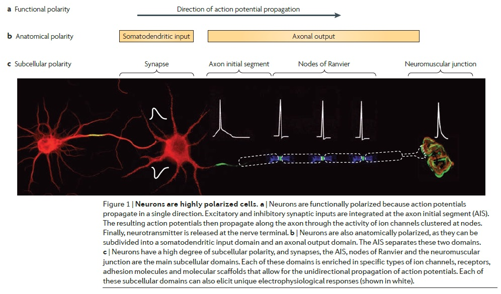AXON ENSHEATHMENT AND MYELIN GROWTH - AMAZING EVIDENCE OF DESIGN Neuron13