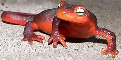 Salamanders are amazing Newt-c10