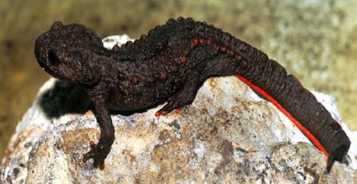 Salamanders are amazing Newt10