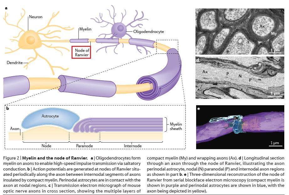 The Human Nervous System: Evidence of Intelligent Design  Node_o11