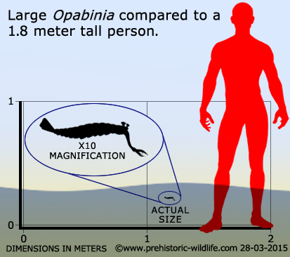 Opabinia - the strangest animal of the Cambrian Opabin12