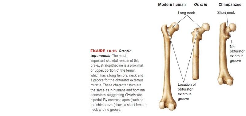 The origin of Homo Sapiens & timeline of human evolution