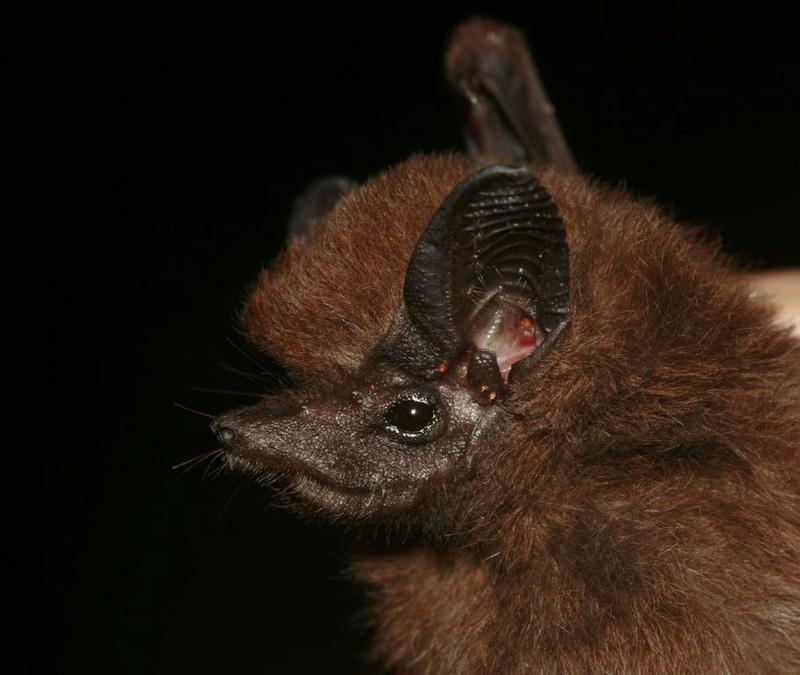 Spectacular bats Perotr10