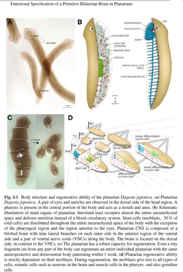 Evolution of the brain Planar10