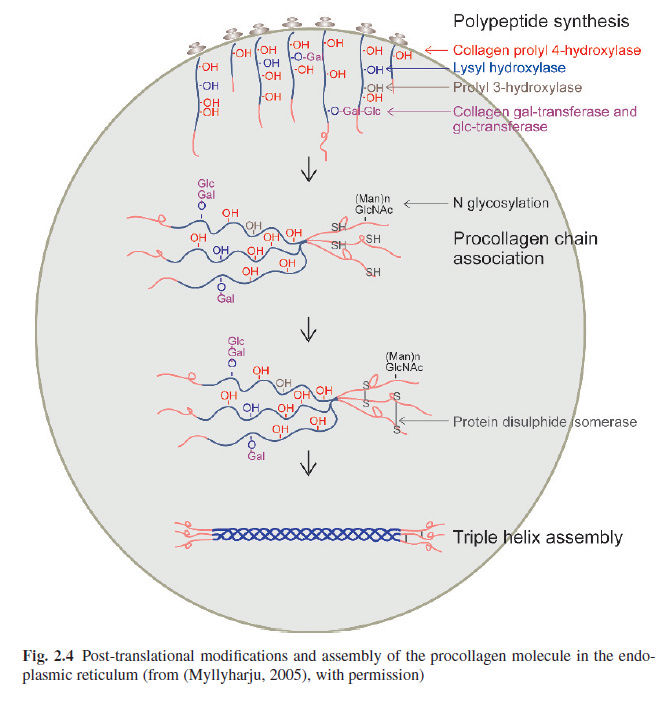 Collagen, the most abundant protein in the human body, and its synthesis Post-t10