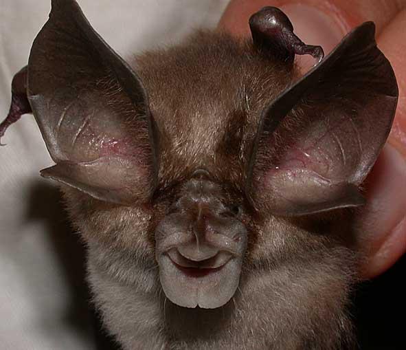Spectacular bats Rhinma10
