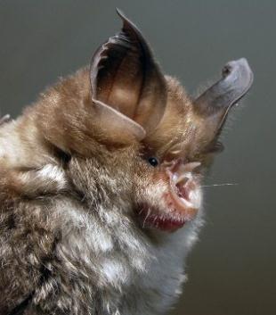 Spectacular bats Rhinol10