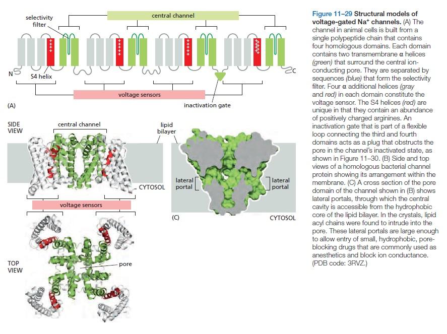 The Human Nervous System: Evidence of Intelligent Design  Sodium10