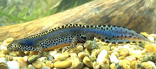 Salamanders are amazing Taapua10