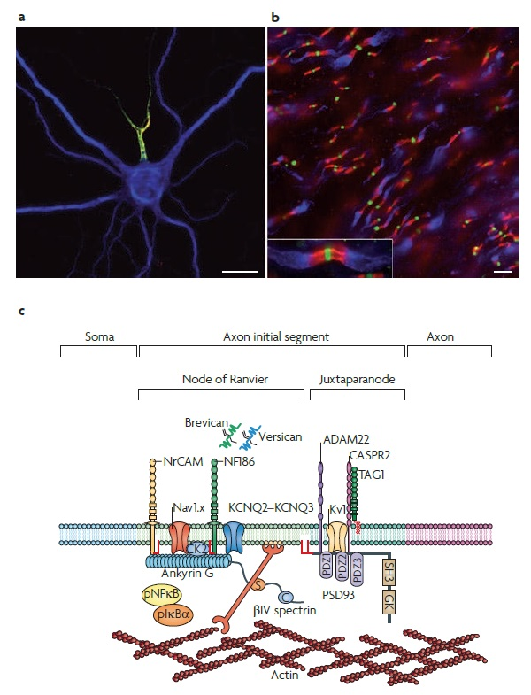AXON ENSHEATHMENT AND MYELIN GROWTH - AMAZING EVIDENCE OF DESIGN The_ax10